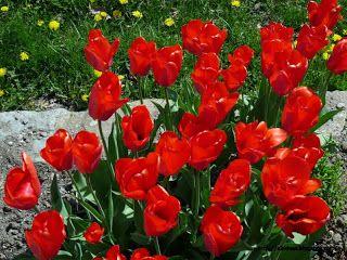 P1220667 - Mientras recupero, flores y jazz  ... Valle de Benasque