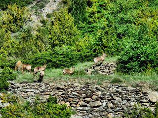 P1230535 fhdr - Sarrio pillado por el zoom, Valle de Benasque, Pirineos