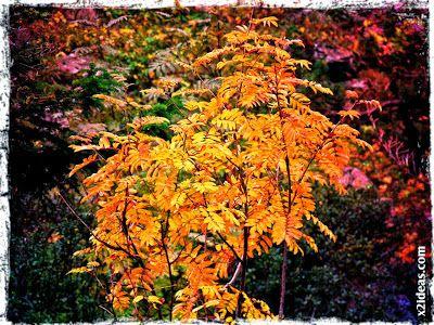 otoño 1 - Otoño Cerleriano.