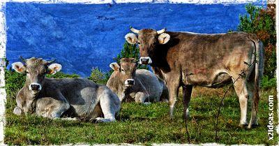 vacas - Otoño Cerleriano.