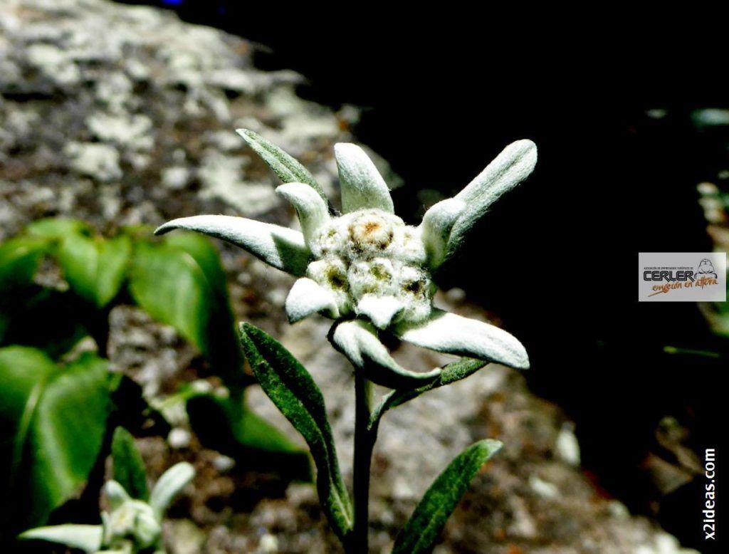 P1000668 1024x778 - Flor de Edelweiss