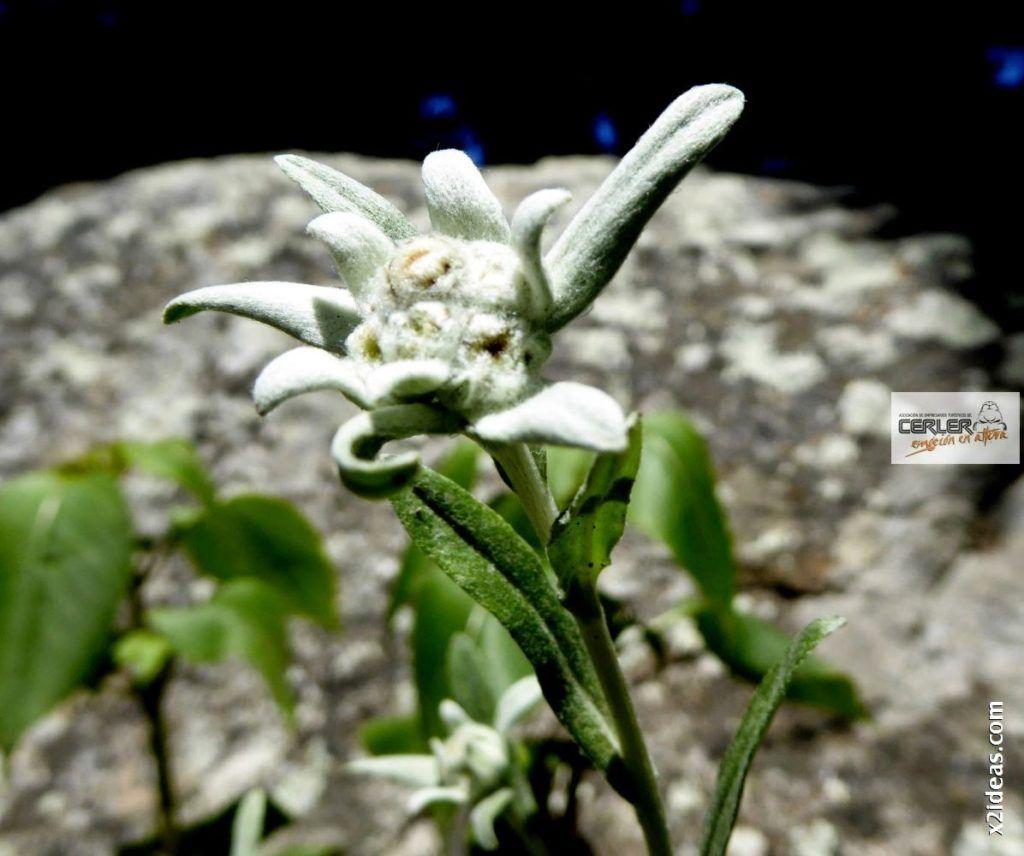 P1000674 1024x856 - Flor de Edelweiss