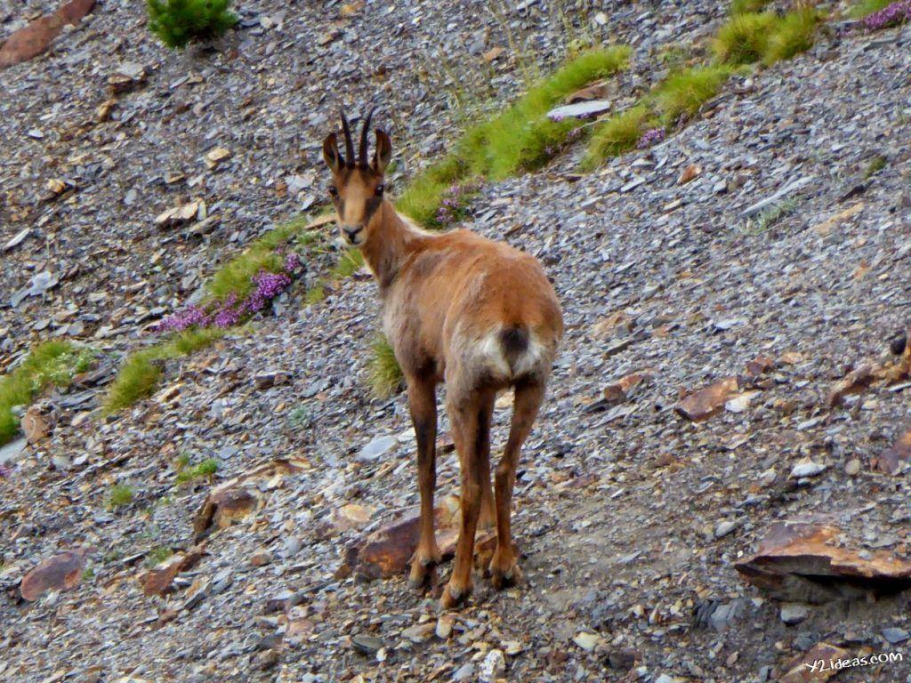 P1000939 1024x768 - Sarrio pillado por el zoom, Valle de Benasque, Pirineos