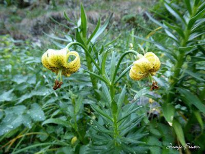 P1050738 - Botánico y Gorgues de Alba, Valle de Benasque (Pirineo)