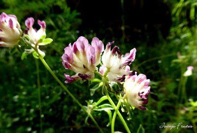 P1050913 - Botánico y Gorgues de Alba, Valle de Benasque (Pirineo)