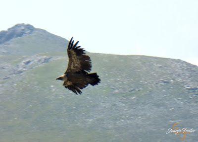 P1160691 - De buitres ... Sierra Negra.