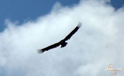 P1160697 - De buitres ... Sierra Negra.