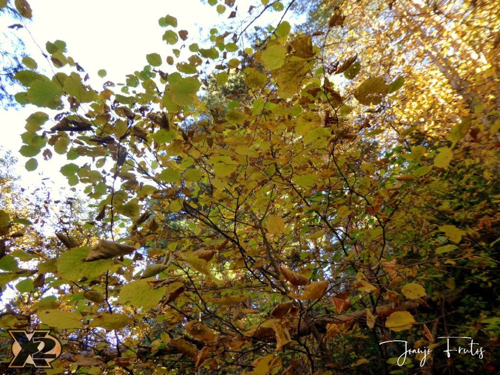 P1350825 1024x768 - Hojas de otoño con Luna Llena.